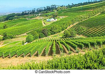 Vinery farm living in green grapevine, Constantia, Cape...