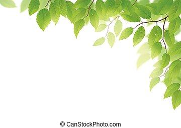 Green leaves - Fresh green beech leaves on white background