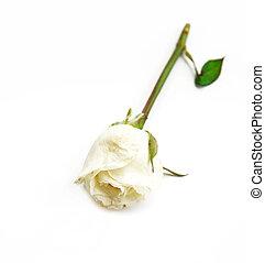 single white Rose on white background