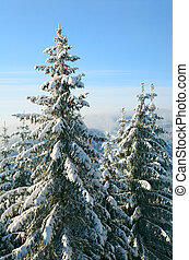 winter spruces in mountain - winter calm mountain landscape...