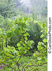 Grape bushes during heavy rain - Bushes green grapes during...