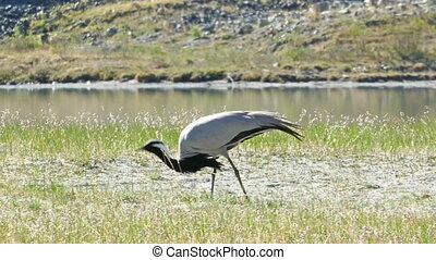 demoiselle crane bird walking in grass