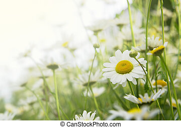 Floral background with daisy