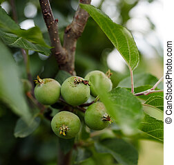 Green unripe apples on a branch in the orchard