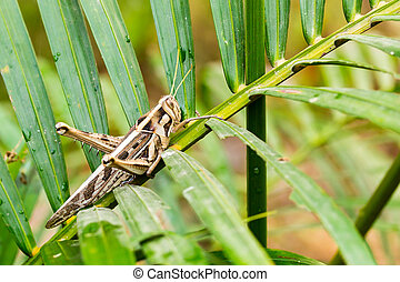 wrinkled grasshopper on young coconut tree leaf