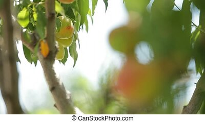 The Young Peach Tree Is Still Green Fruit. - Dvidenie focus...