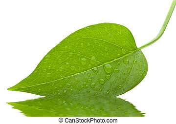 Leaf green and fresh isolation - A photo of leaf green and...