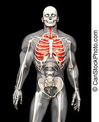 humano, anatomía, visualización, -, el,...