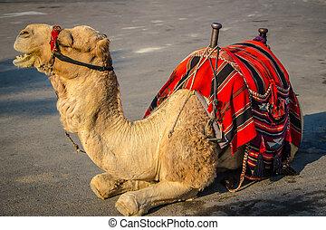 Bedouin camel in Israel near the Dead Sea