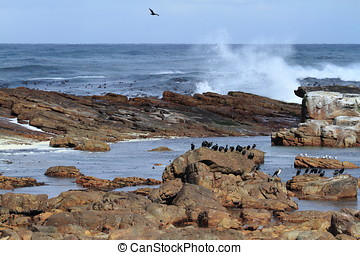 Cormorants at the Coast of Kap of Good Hope