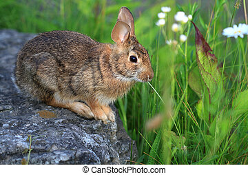Cottontail Rabbit sitting on rock early morning light