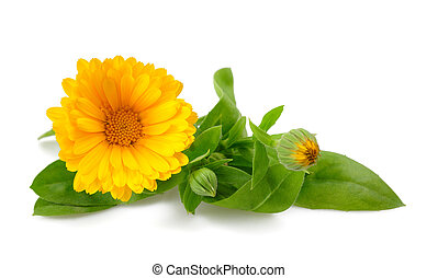 Marigold - Calendula. Marigold flower with leaves isolated...