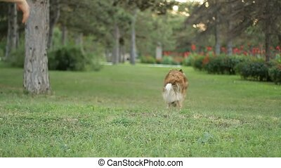 Girl in the park dog trainer. - SLOW MOTION. A Border Collie...