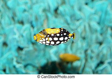 Clown triggerfish Balistoides conspicillum in Japan