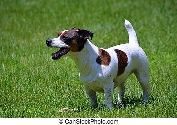 Jack Russell Terrier Stands in Yard