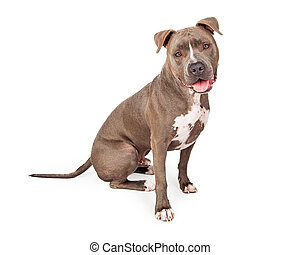 Attentive Staffordshire Bull Terrier Dog Sitting At An Angle