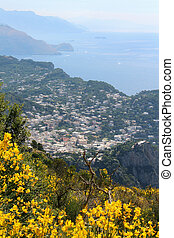 Capri - Ginestra flowers on the hill overlooking the town of...