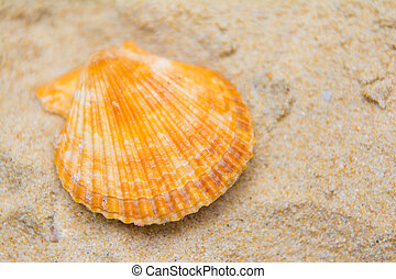 beautiful scallops shell on the sand