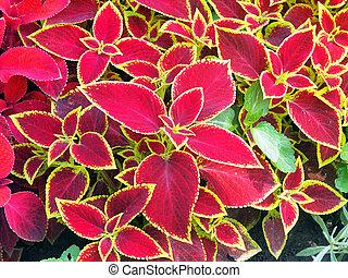 Decorative red Coleus