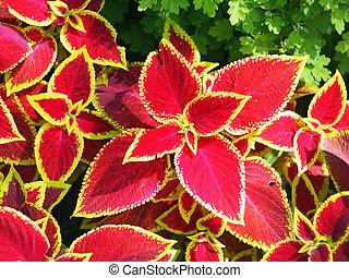 Decorative red Coleus closeup