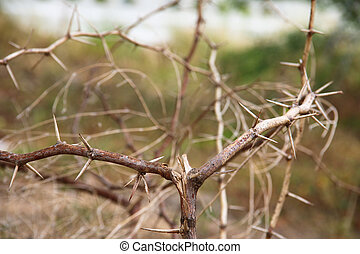 dry thorn - This is close up the spine of a dry tree