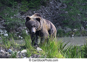Brown Bear - Portrait of brown bears in their natural...