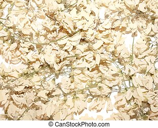 Acacia dried flowers - background Illustration
