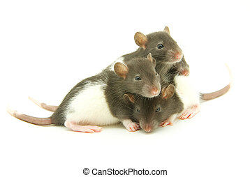 funny rats isolated on white background