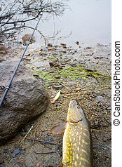 pike and fishing in Norway - pike fishing big Northern fish