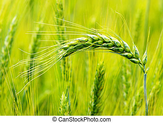 wheat field - Close up shot of a green wheat field at spring...