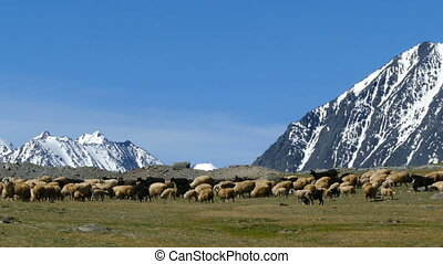 flock of sheep on mountain pasture on snow peaks background