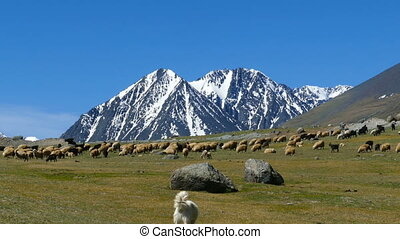 flock of sheep and dog on mountain pasture on snow peaks...