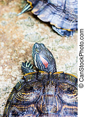 red eared slider turtle - One Pond Red eared slider turtle