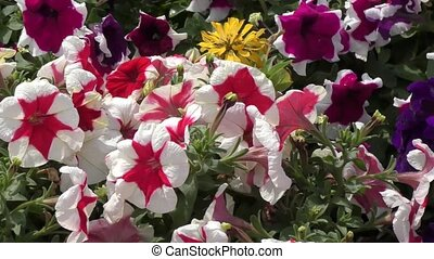 Flowers petunia - Flowers Petunia swinging in the breeze on...