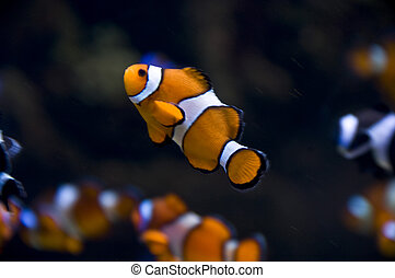 clownfish swimming in the ocean