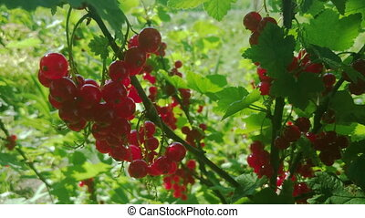 Red currant berries in the garden, closeup view