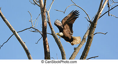 Mid Air Eagle - Sunny perspective on an adult bald eagle in...