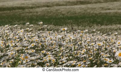 Blossoming Chamomiles Swaying On Wind In The Field