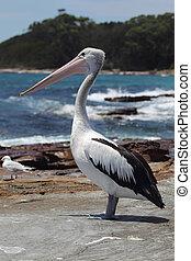 Australian Pelican (Pelecanus conspicillatus) sitting on a...