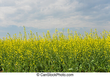Canola Under a Blue Cloudy Sky - Landscape of golden canola...