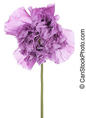 poppy - Studio Shot of Purple Colored Poppy Flower Isolated...
