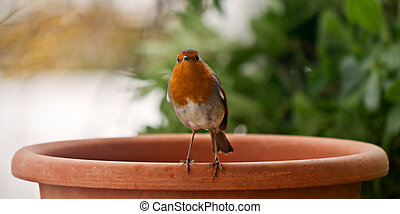 Redbreast Robin - Close up of beautiful Robin