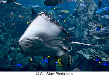 sting ray swimming in the ocean