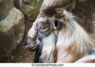 markhor head side view - close up of a markhor head