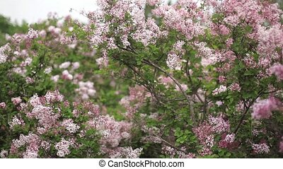 Close-up video of blossoming lilac.
