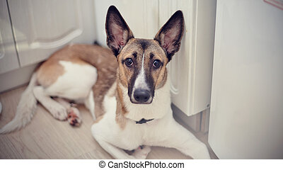 Domestic dog - Not purebred domestic dog lies at home on a...