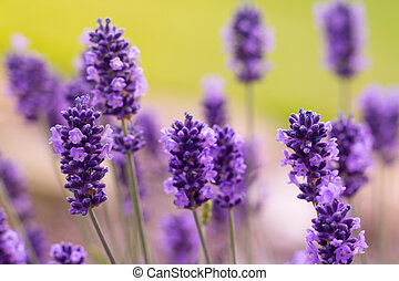 Lavender blossoms in macro detail