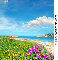 pink flowers and green grass by the sea in Capo Testa,...