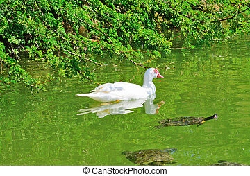 duck and turtles in a green pond - muscovy duck and turtles...