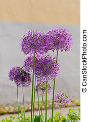 Giant onion flowers (Allium Giganteum) against wall